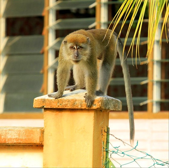 Say hi to Fred, one of Malaysia Sea Sports' resident monkeys